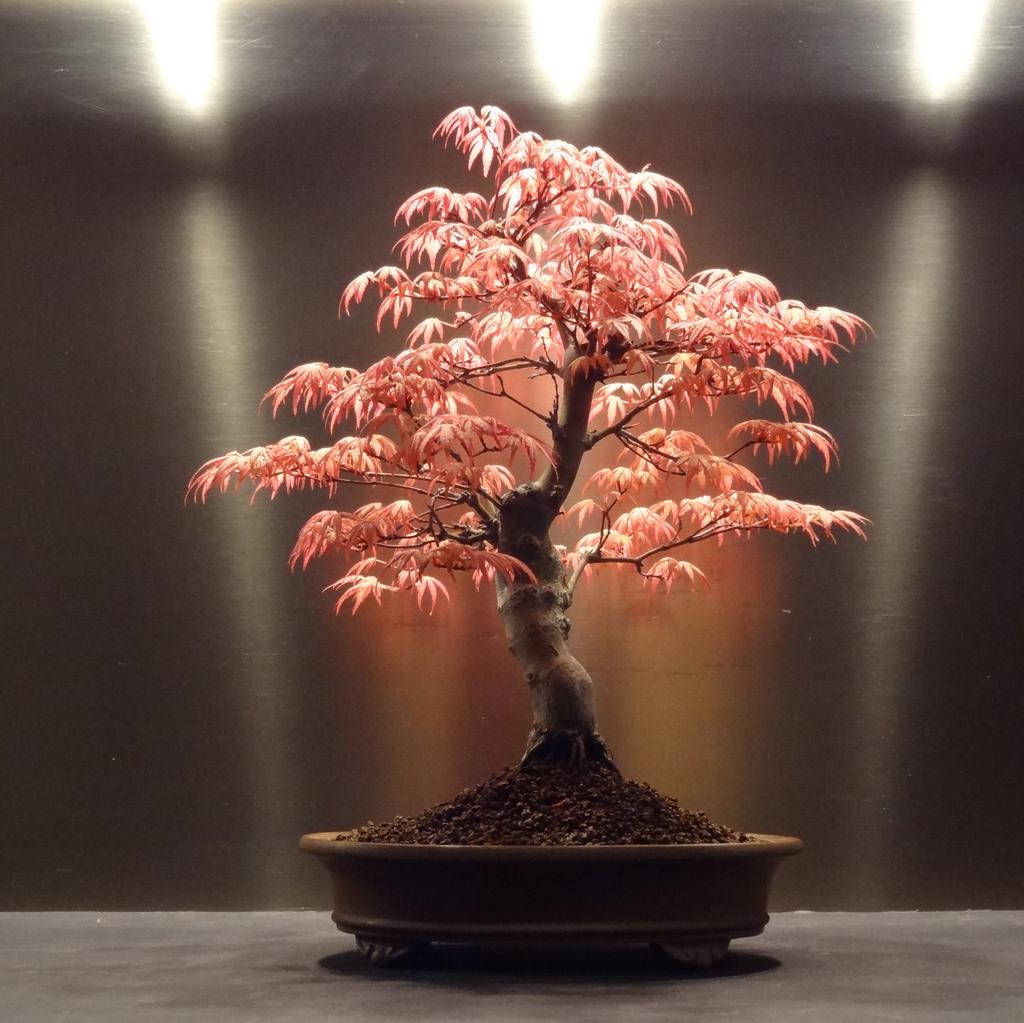 Acero giapponese in vaso come coltivarlo casina mia for Acero giapponese