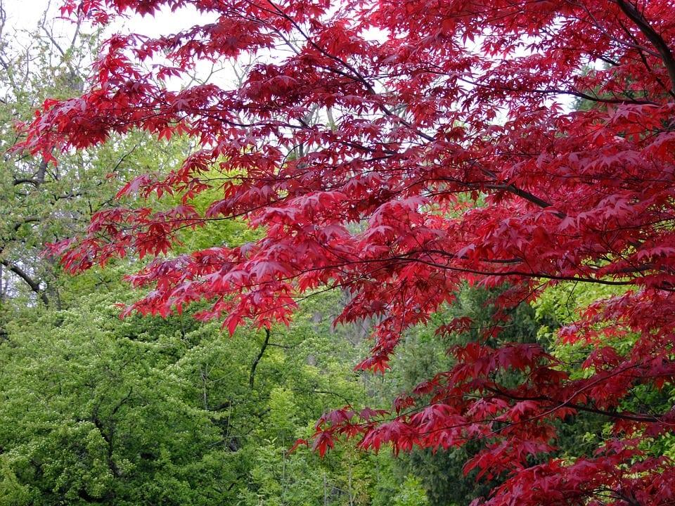 Acero giapponese info e consigli su questa splendida pianta for Acero giapponese