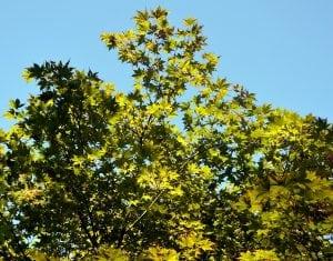 acero giapponese foglie verdi Casina Mia 300x235 - Acero giapponese: info e consigli su questa splendida pianta