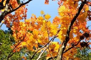 acero giapponese giallo Casina Mia 300x199 - Acero giapponese: info e consigli su questa splendida pianta