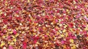 acero giapponese in autunno Casina Mia 300x168 - Acero giapponese: info e consigli su questa splendida pianta