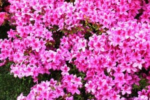 azalea japonica rosa Casina Mia 300x200 - Azalea japonica: cura e manutenzione di una pianta sempreverde