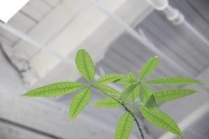pachira insignis Casina Mia 300x200 - Pachira: una breve guida alla pianta tronco intrecciato