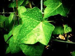 foglie edera 300x225 - Piante rampicanti resistenti al freddo e al caldo, alcune idee per il tuo giardino