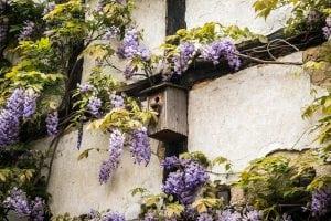 glicine 300x200 - Piante rampicanti resistenti al freddo e al caldo, alcune idee per il tuo giardino