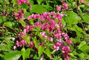 rampicante con fiori 300x204 - Piante rampicanti resistenti al freddo e al caldo, alcune idee per il tuo giardino