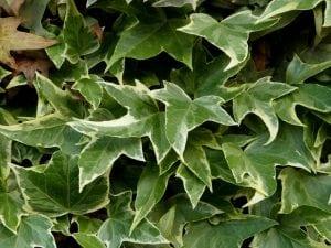 rampicanti verdi 300x225 - Piante rampicanti resistenti al freddo e al caldo, alcune idee per il tuo giardino