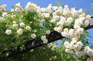 rosa rampicante 300x199 - Piante rampicanti resistenti al freddo e al caldo, alcune idee per il tuo giardino