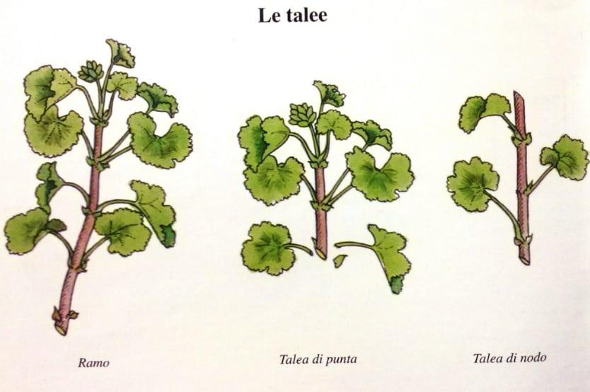 Piante Talee - Miglior ormone radicante per il giardino