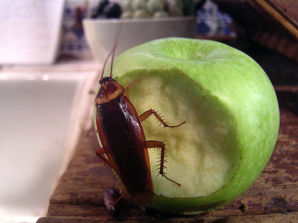 Piccoli Scarafaggi In Cucina come eliminare gli scarafaggi dagli scarichi: la guida