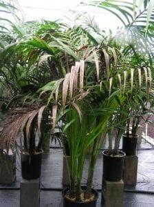 Piante da appartamento e da interno scopri le pi belle e for Kentia pianta