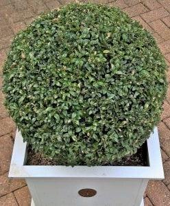 Piante sempreverdi per la tua casa come sceglierle e for Cespugli giardino
