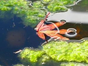 Alghe da Laghetto per Giardino 300x225 - Le migliori pompe per laghetti, stagni e giardini acquatici: quale tipologia scegliere?