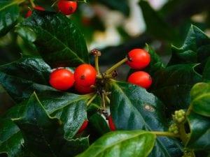 bacche del pungitopo 300x225 - Pungitopo coltivazione: come coltivare la pianta decorativa del Natale dai grandi benefici ed usi insospettabili