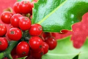 bacche rosse da utilizzare per le decorazioni 300x200 - Pungitopo coltivazione: come coltivare la pianta decorativa del Natale dai grandi benefici ed usi insospettabili