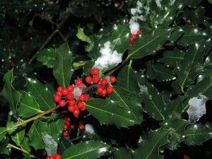 pianta del pungitopo 300x225 - Pungitopo coltivazione: come coltivare la pianta decorativa del Natale dai grandi benefici ed usi insospettabili