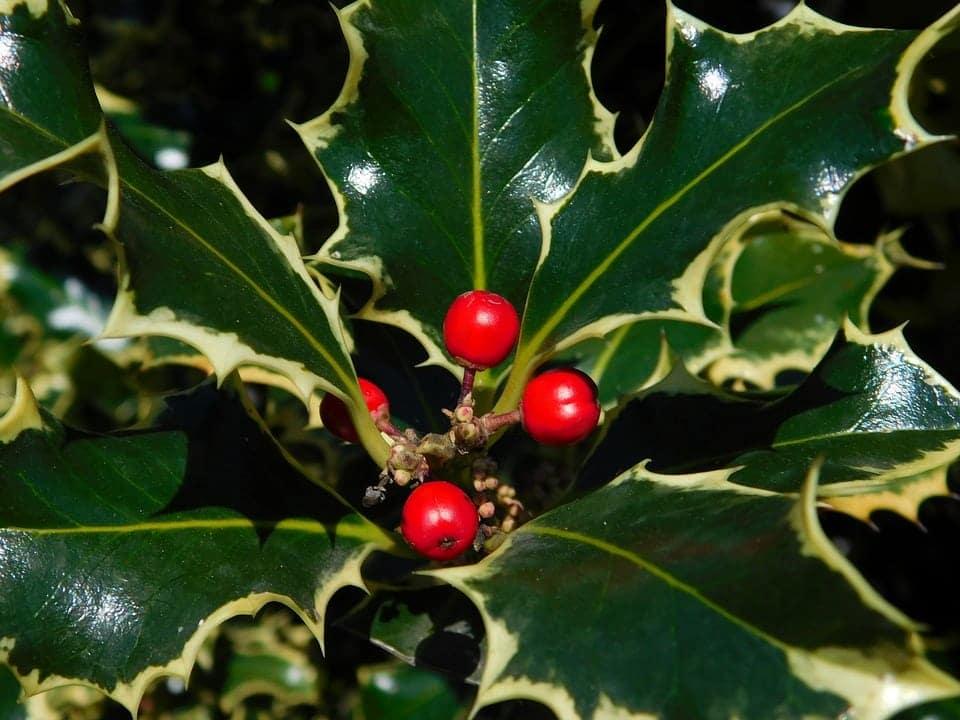 pungitopo con bacche rosse - Pungitopo coltivazione: come coltivare la pianta decorativa del Natale dai grandi benefici ed usi insospettabili