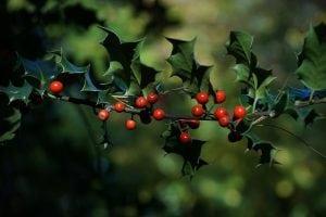pungitopo nel bosco 300x200 - Pungitopo coltivazione: come coltivare la pianta decorativa del Natale dai grandi benefici ed usi insospettabili