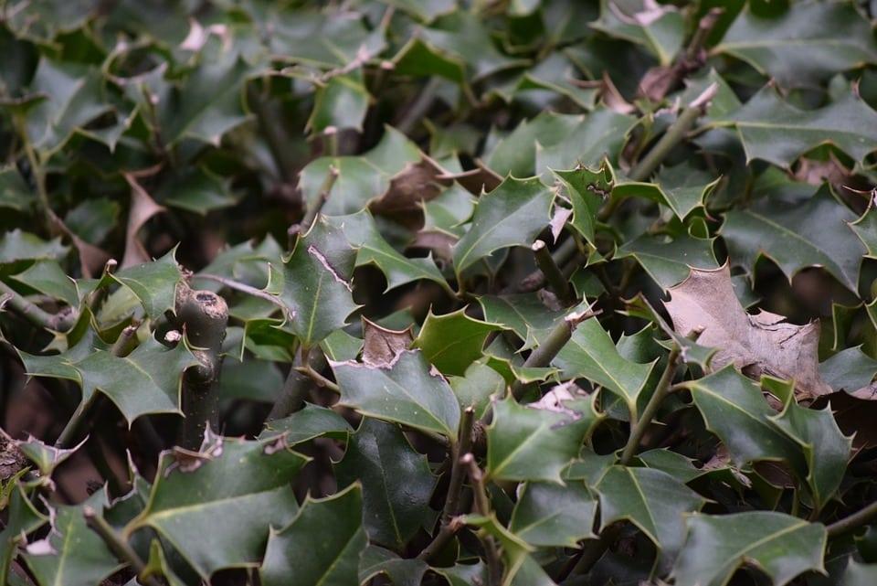 pungitopo - Pungitopo coltivazione: come coltivare la pianta decorativa del Natale dai grandi benefici ed usi insospettabili