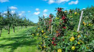 alberi di mele 300x168 - Il melo: consigli pratici per crescere una pianta sana e rigogliosa, anche in vaso