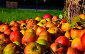 mele 300x190 - Il melo: consigli pratici per crescere una pianta sana e rigogliosa, anche in vaso