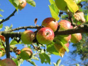 melo 300x225 - Il melo: consigli pratici per crescere una pianta sana e rigogliosa, anche in vaso
