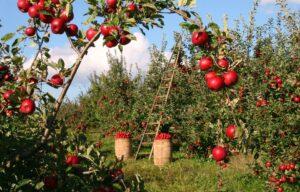 raccolta mele 300x192 - Il melo: consigli pratici per crescere una pianta sana e rigogliosa, anche in vaso