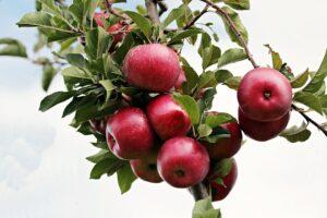 ramo di melo 300x200 - Il melo: consigli pratici per crescere una pianta sana e rigogliosa, anche in vaso