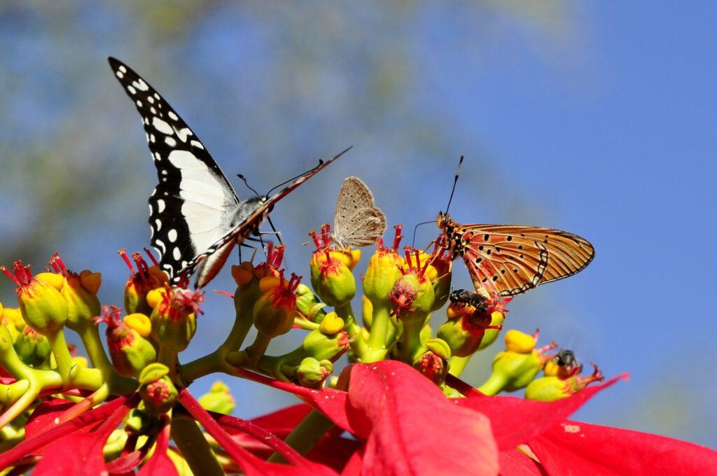 farfalle su bocciolo 1024x680 - Stella di Natale: cura e mantenimento del simbolo di questa festività