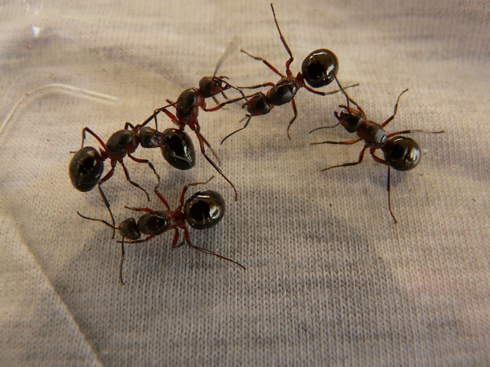 Prodotti Efficaci Contro Le Formiche ᐅ migliore esca per formiche • 3 prodotti più efficaci del