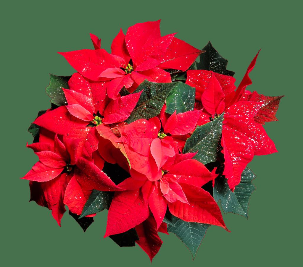 stella di natale 1024x903 - Stella di Natale: cura e mantenimento del simbolo di questa festività