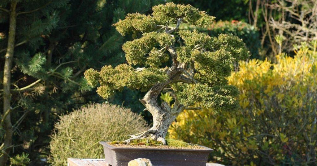 giardino zen bonsai