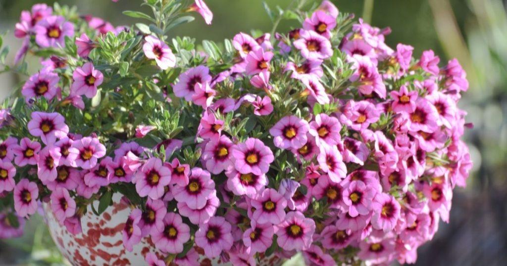 pianta travasata fiorita