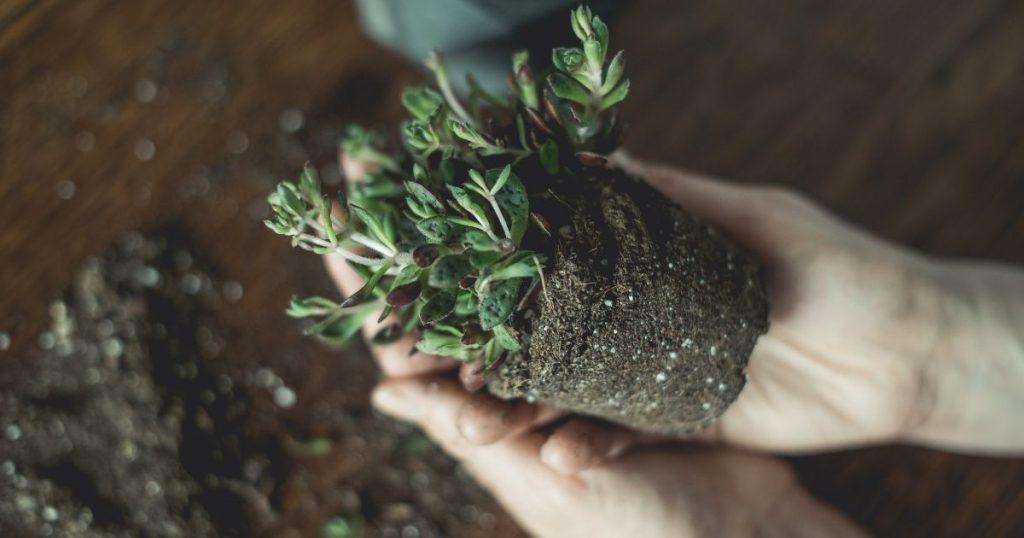 travasare una pianta
