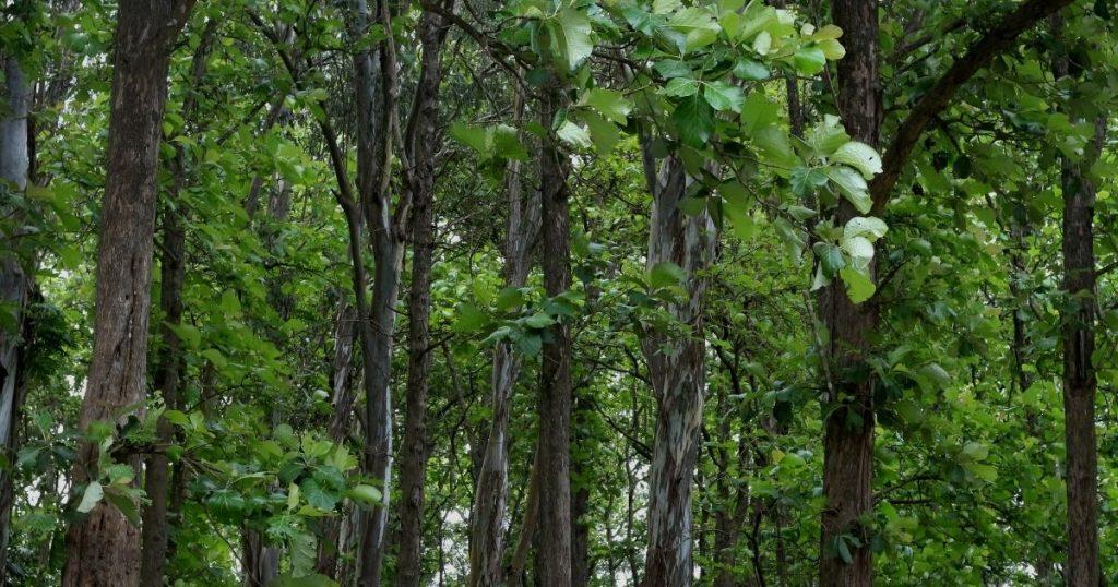 pavimenti in teak alberi
